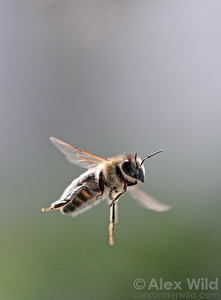 A honey bee in flight (Apis mellifera).  Urbana, Illinois, USA