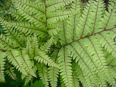 Athyrium otophorum 'Okanum'.jpg