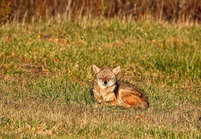 Stare Down - Coyote (Wisconsin)