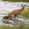 White-tailed doe and fawn taking a bathroom break while crossing a Kentucky stream