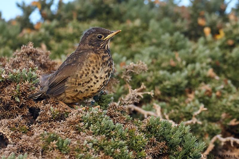Austral (Falkland) Thrush juvenile