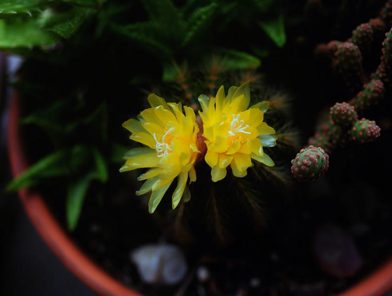 cactus flowers 060420-.jpg