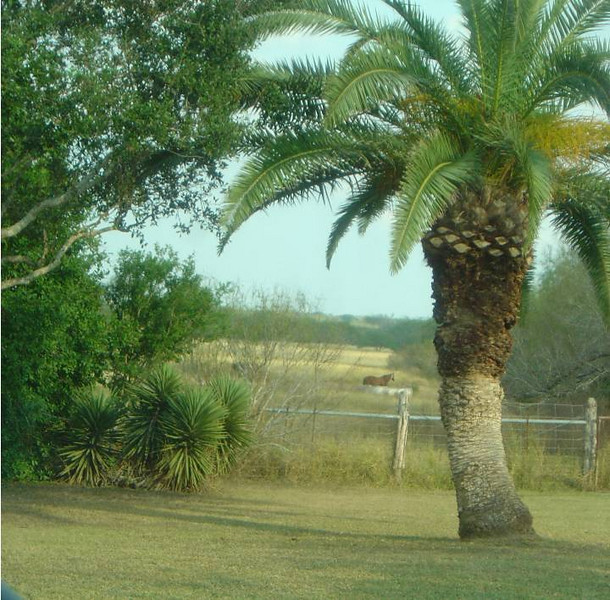 DSC03572-Palm tree-King Ranch Tour-Thanksgiving-Kingsville TX- Nov 2008.jpg
