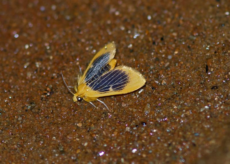 Moth - Vietnam