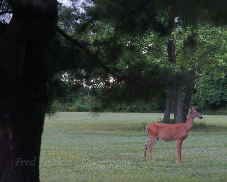 deer Mercer County Park.jpg