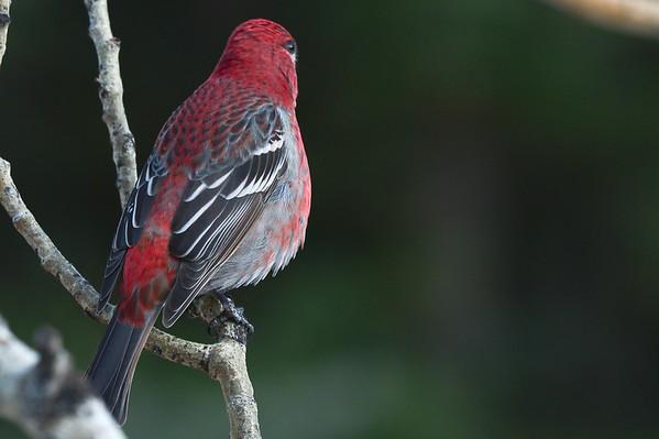 11 2012 Nov 17 Up Close & Personal - Grosbeaks, Chickadees, Blue Jay , Woodpecker & Squirrels
