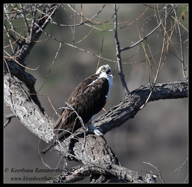 Osprey, Lake Jennings, San Diego County, California, January 2012