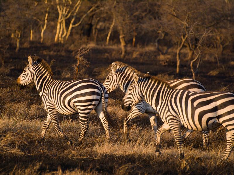 Zebra's.jpg