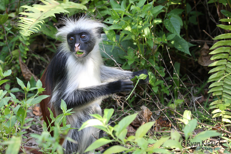 Red colobus monkey grabbing a bite to eat