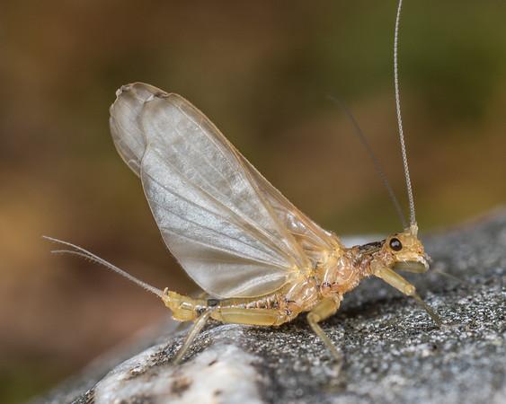 Unidentified stoneflies