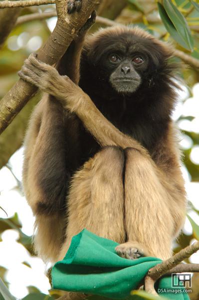 Muller's Gibbon (Hylobates muelleri)