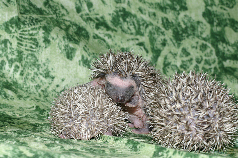 Litter - Roy and Pascal (05/06/2005)  Pascal Babies  Filename reference: 20050524-215103-HAH-Hedgehog_Babies
