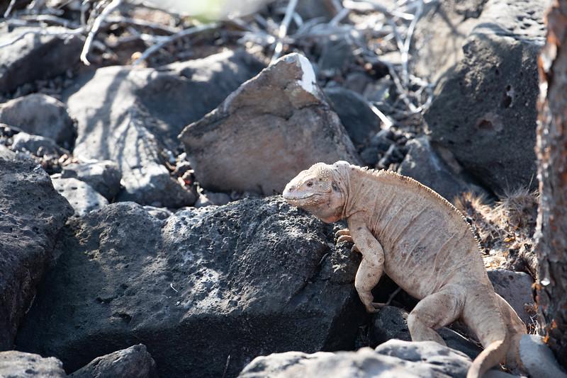 land iguana (pale or albino?)