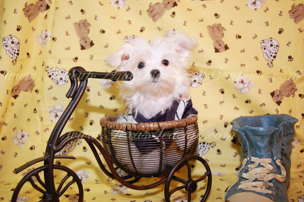 DONATED TO CHILDRENS CHORUS OF GREATER DALLASTiny Teacup Maltese Puppy # 2304 -Catherine Z.-