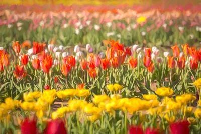 Pilot Point - Tulips
