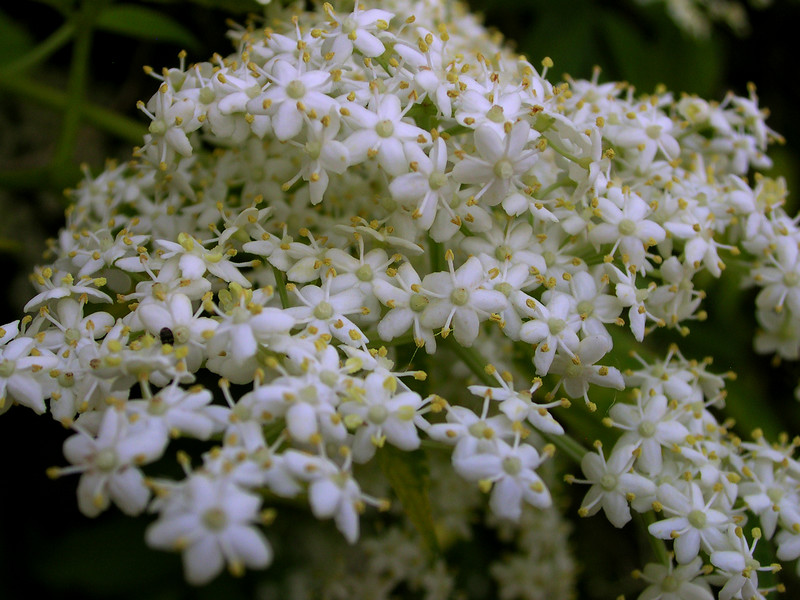 whitelacey03.JPG
