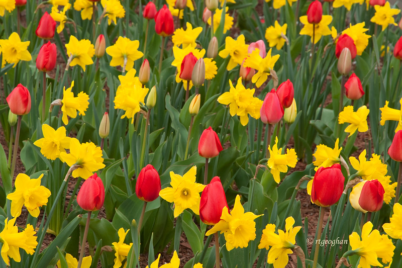 April 22_Tulips and Daffodils_0203.jpg