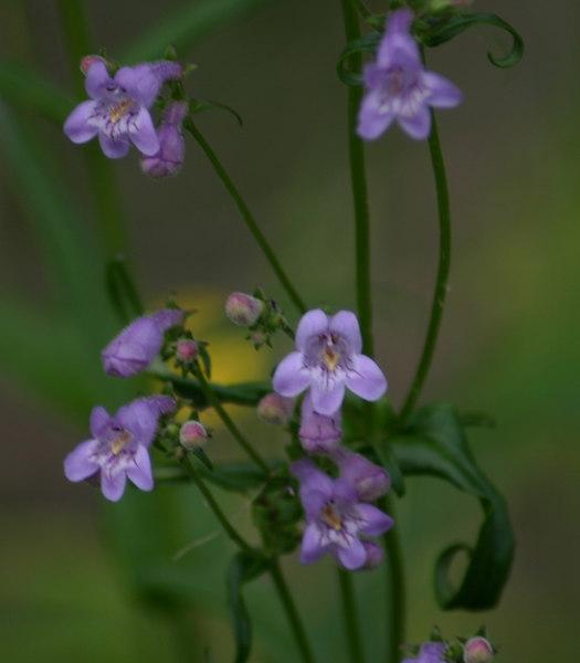 Nuttallanthus spp.