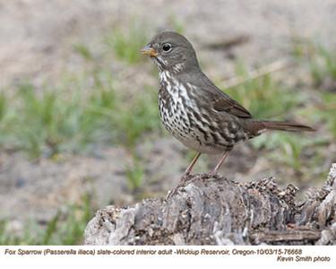 Fox Sparrow A76668.jpg