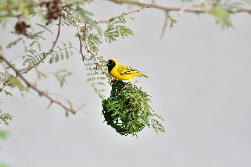 Southern Masked Weaver Calling