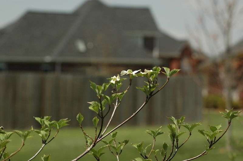April 10 - My baby dogwoods have finally decided to bloom after several years!