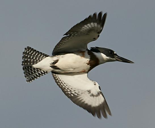 Kingfisher in Flight