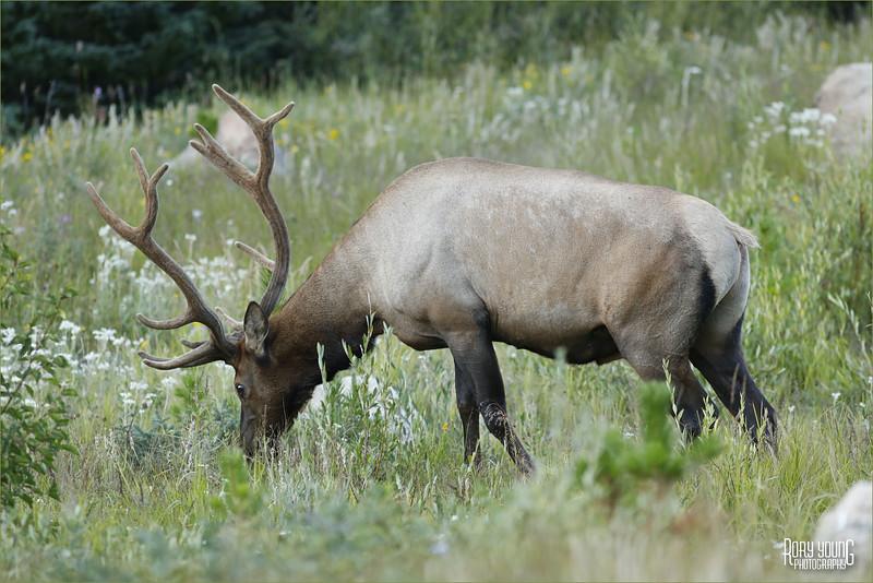 Elk-C.jpg