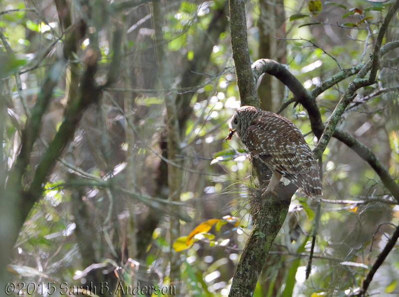 Barred Owl bringing food for the owlets