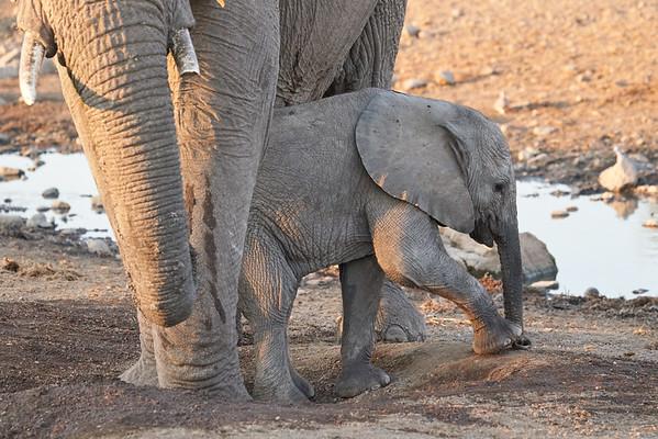 Elephant Mom Baby Mashatu Botswana 2019