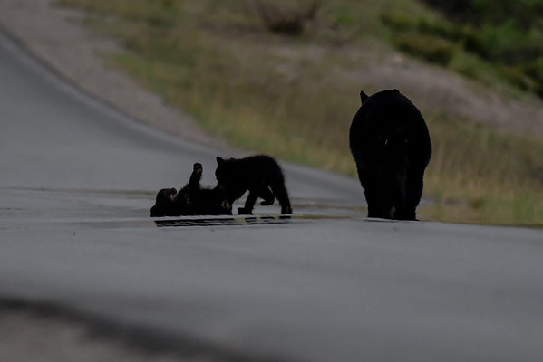 6-3-19 Black Bear 2 Cubs - Last Light Of The Day