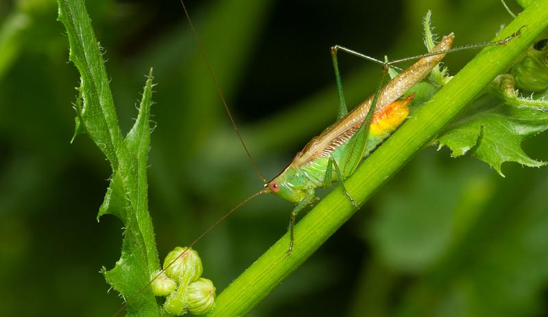 Meadow katydid (Conocephalinae: Conocephalini) from Iowa.