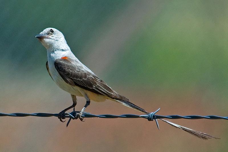 Flycatcher - Scissor-tailed - Perry, OK - 01