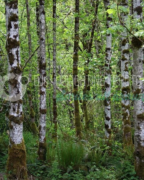 Alder Trees_batch_batch.jpg