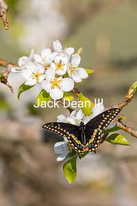 Black Swallowtail In A Pear Tree