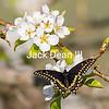 Black Swallowtail In A Pear Tree