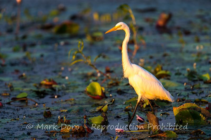 Intermediate Heron, Yellow Water Billabong, Kakadu, Northern Territory