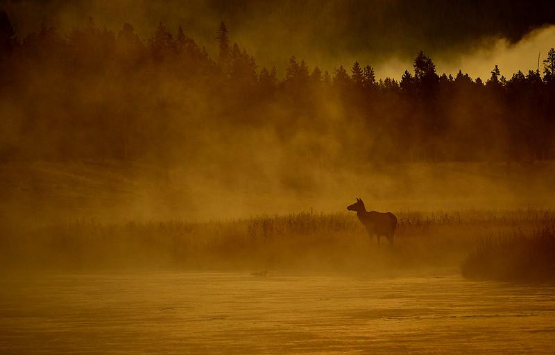 Female Elk just before dawn