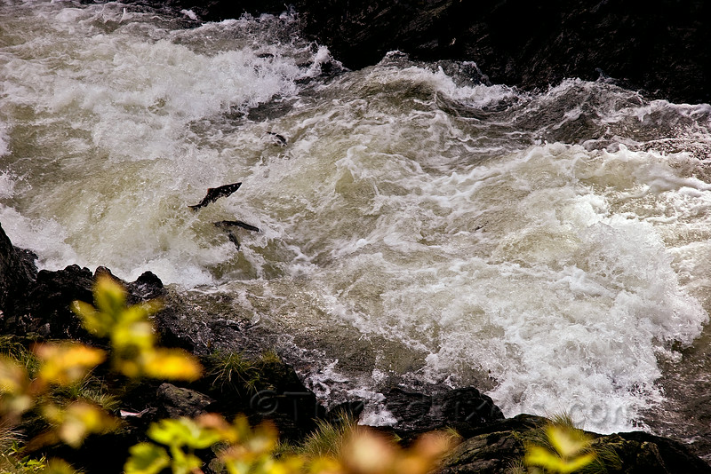 Spawning Pink Salmon in Ketchikan Creek