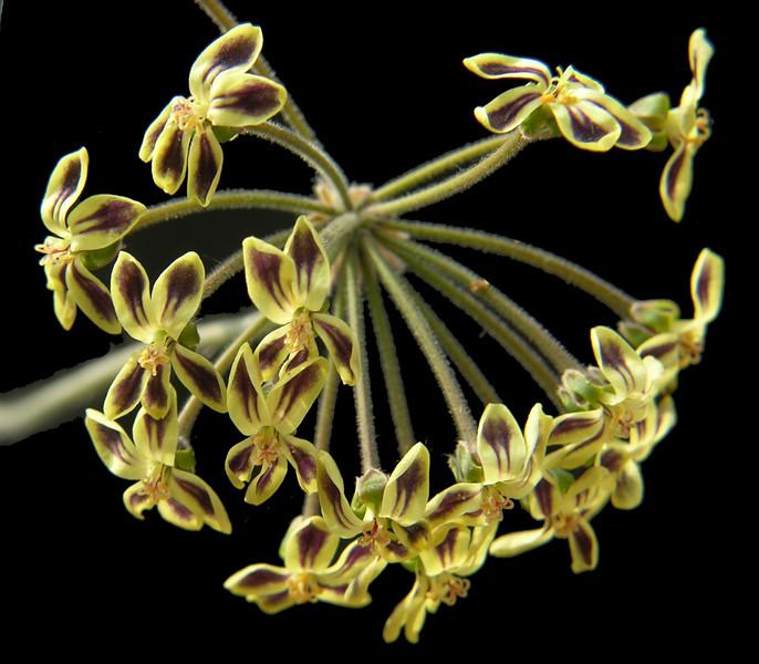 Pelargonium lobatum flowers
