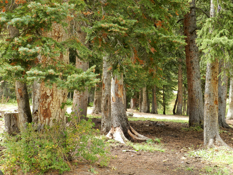 Pine trunks at Gold Run Trail Head.jpg