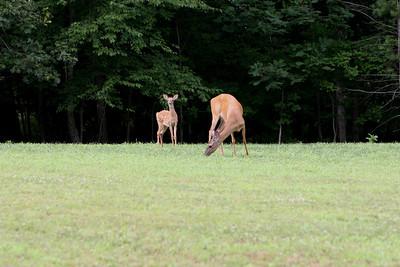 Camp Hemlocks Deer -- 07-24-13