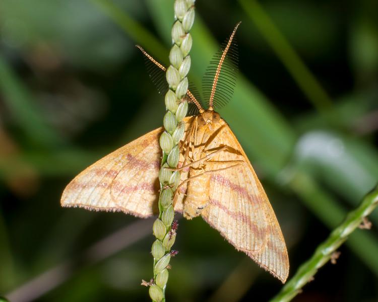 Chickweed Webworm Moth KX1016.jpg