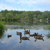 Mill Pond/Stillwater Pond ducks and geese. This pond flows over the waterfall and into Fall Brook on its way to Long Pond. July 15 2016