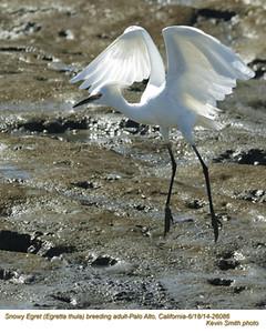 Snowy Egret A26086.jpg
