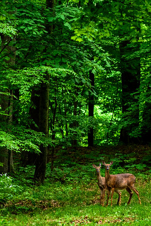 2018_05_19 Deer