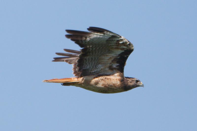 Red-tailed Hawk calurus adult (3) at Firebaugh, CA (07-18-2009)