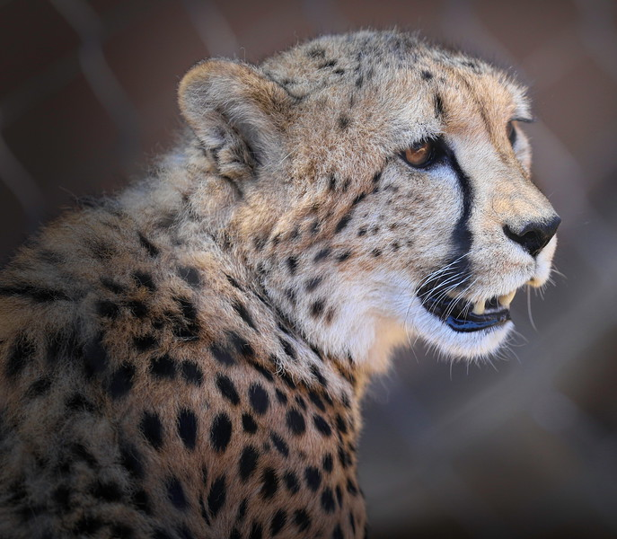 500-San Diego Zoo_8.14.2019 Brian Nguyen Cheetah with Vignette.jpeg