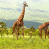 Photo of Grazing Giraffe, Tanzania, Africa