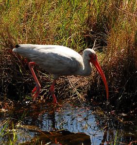 Spoonbills - Ibis - Water Birds