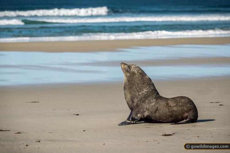 New Zealand Fur Seal Profile
